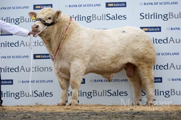 Lot 380, Martland Heavyweight, sold for 11,000gns to A and D Renwick, Keppoch, Ross-shire