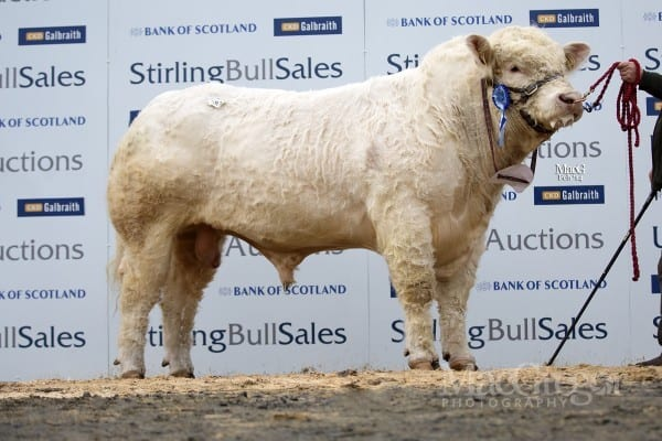 Lot 387, Allanfauld Highlight, sold for 12,000gns to JS Howells, Tycam, Llanybydder