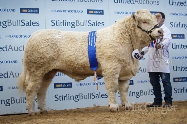 Lot 489, Maerdy Hwre, sold for 15,000gns to Mornity Farms, Alyth