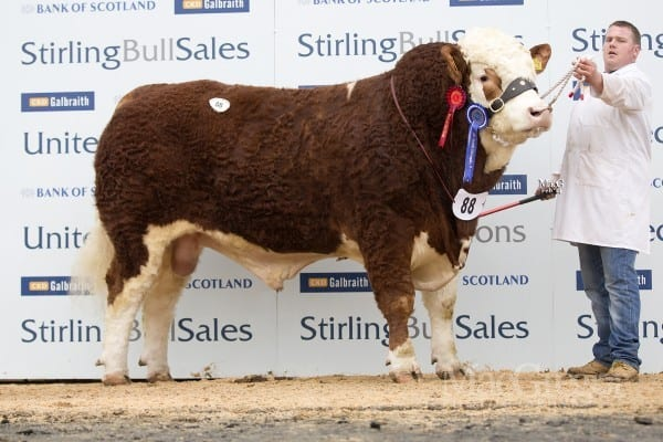 Lot 88 Islavale Donald, sold for 14,000gns to Strathisla Farms, Blairgowrie