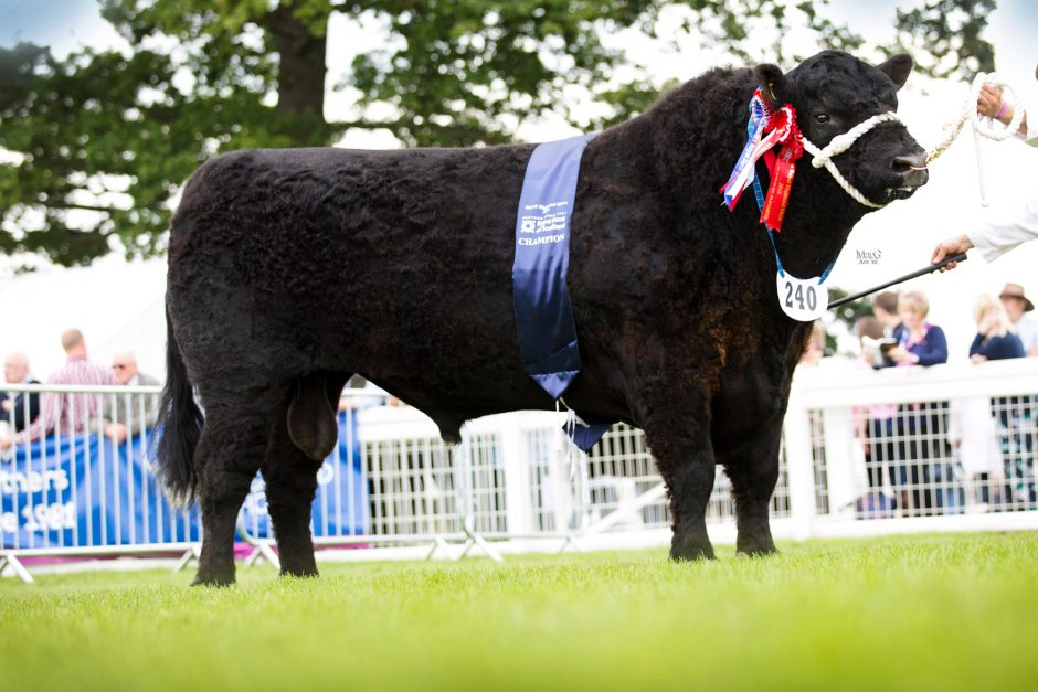 royal highland show 16 cattle champions macgregor