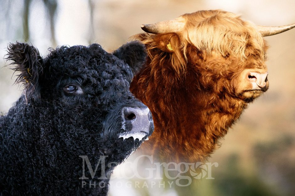Highlanders and Galloways For Sale - February '18