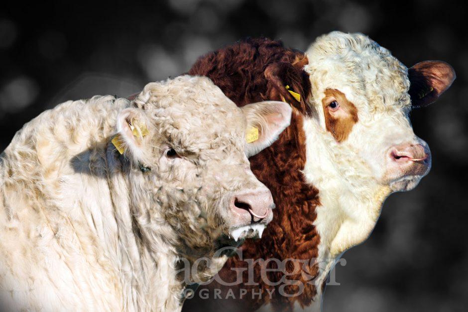 Charolais & Simmental Bulls For Sale