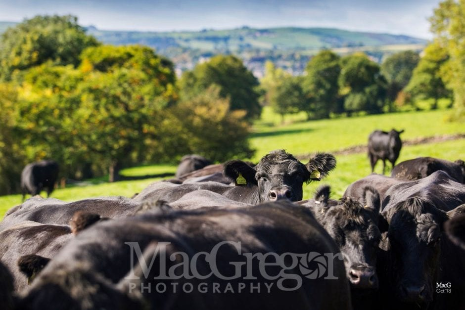 Airedale Aberdeen-Angus Matrons Sale