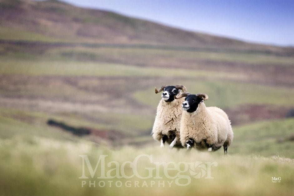 In-lamb Blackface Sale Preview