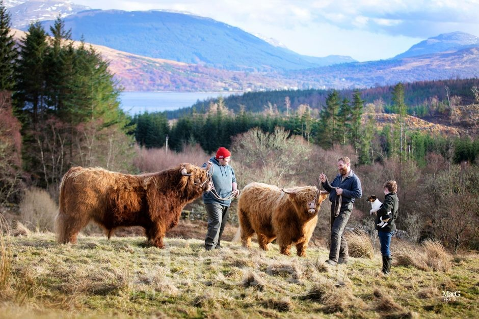 Highland Cattle For Sale - Oban