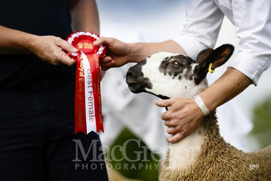 Royal Highland Showcase '21 - Sheep